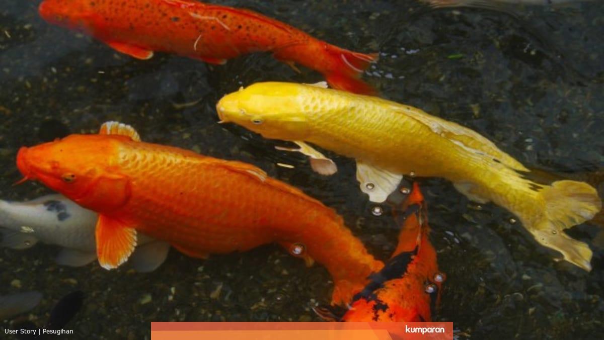 Cerita Pesugihan Siluman Ikan Mas Yang Nyaris Celakai Warga Desa Kumparan Com