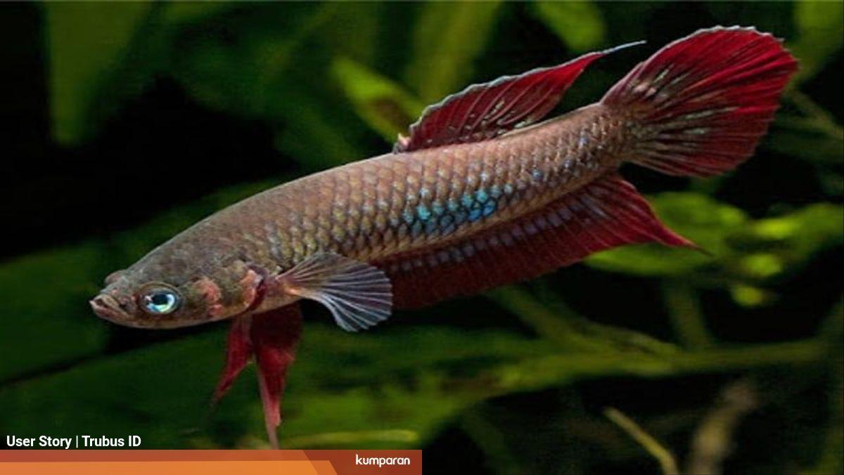 Semakin Jarang Dijumpai Ikan Cupang Alam Ini Semakin Bernilai Jual Tinggi Kumparan Com