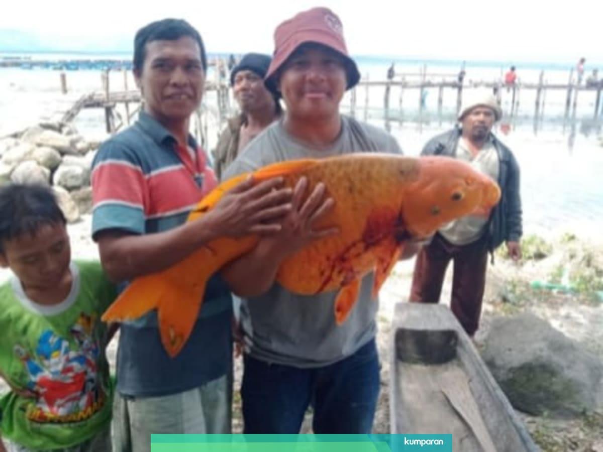 Gambar Nelayan Dan Ikan Mas Selain Di Danau Toba Ikan Mas Raksasa Juga Pernah Ditemukan Di 4 Tempat Ini Kumparan Com