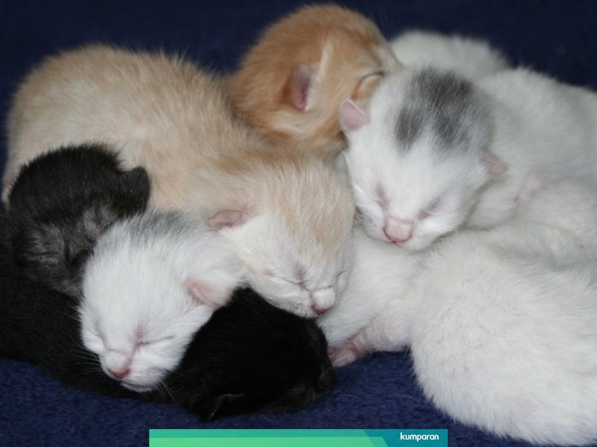 Kenapa Anak Anak Kucing Dari 1 Induk Bisa Punya Warna Beda Beda Kumparan Com