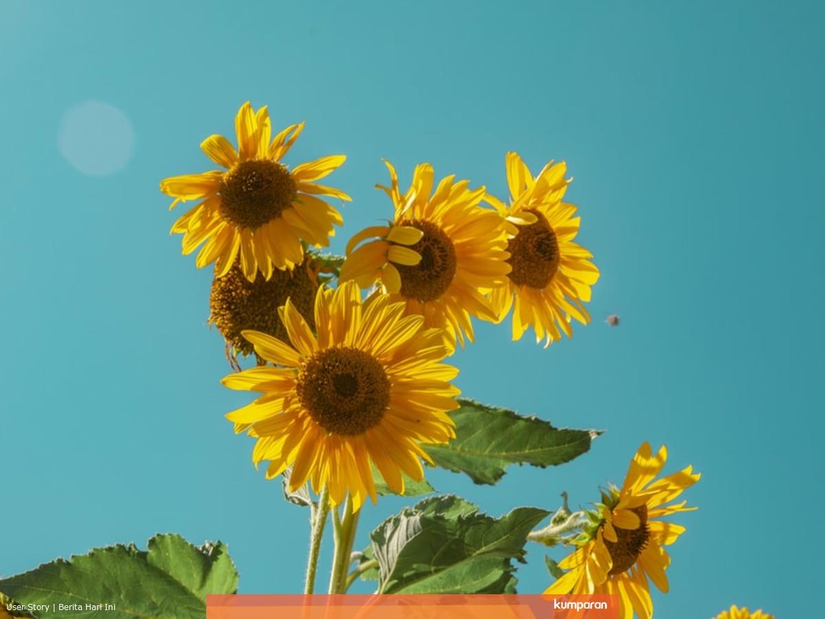5 Manfaat Bunga Matahari Yang Jarang Diketahui Kumparan Com