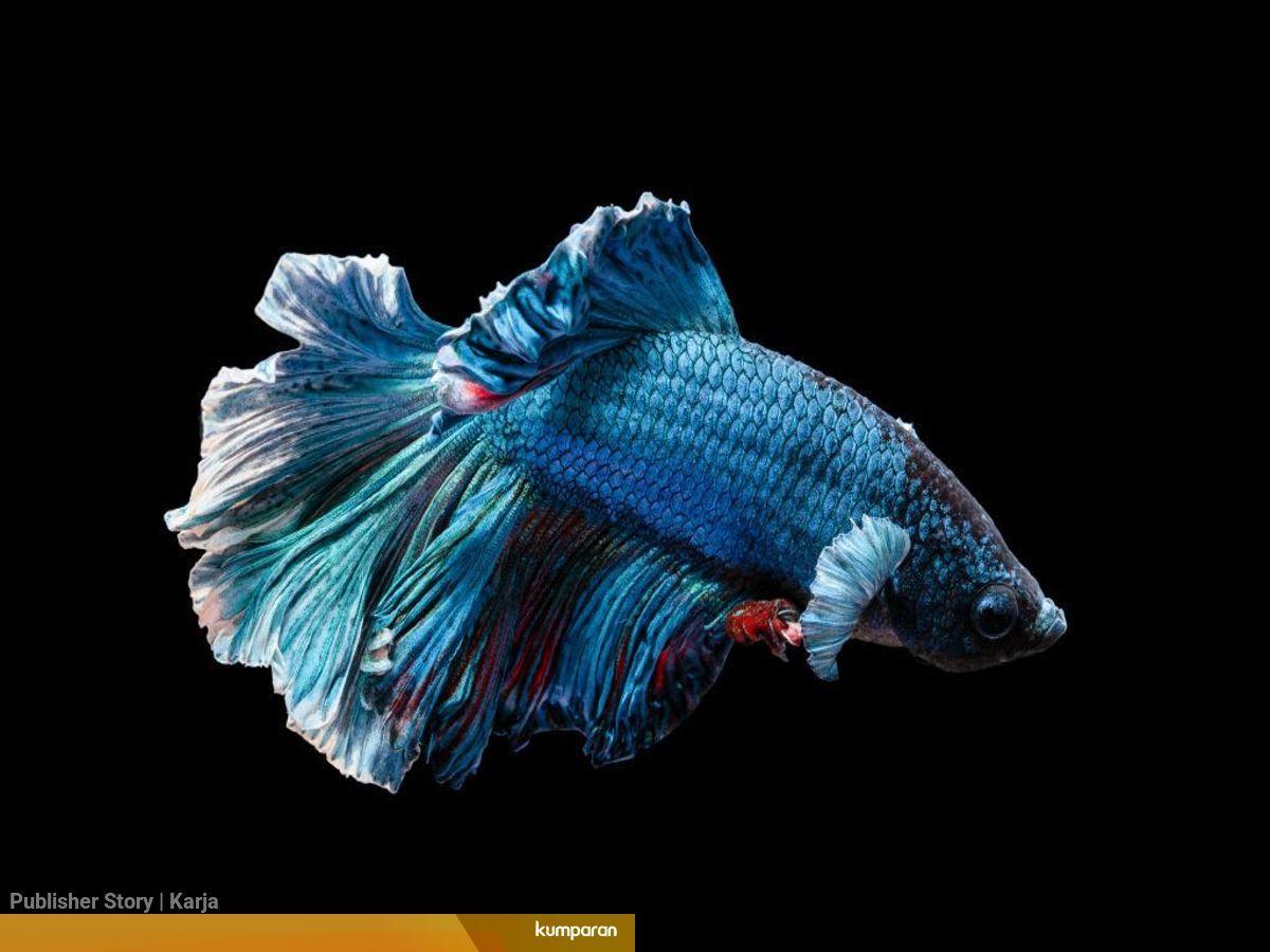 Peluang Bisnis Ikan Cupang Diwan Yang Viral Kumparan Com