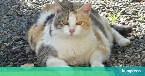 Mengapa Sulit Menemukan Kucing Jantan Belang Tiga Kumparan Com