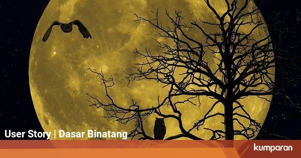 Burung Hantu Memantulkan Cahaya Bulan untuk Mengej