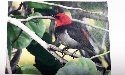 Burung spesies baru diberi nama Iriana.