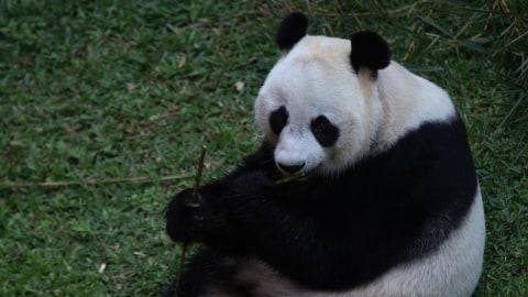 Giant Panda Betina Hu Chun
