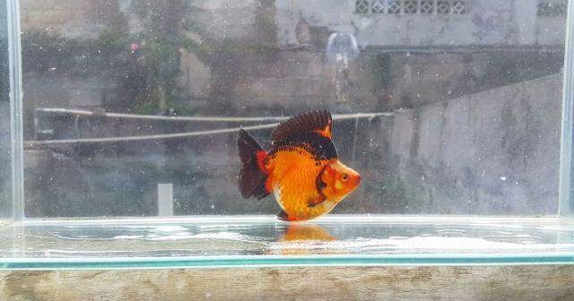 Tak Hanya Bawa Hoki Punya Ikan Mas Koki Juga Bisa Raup Untung Besar
