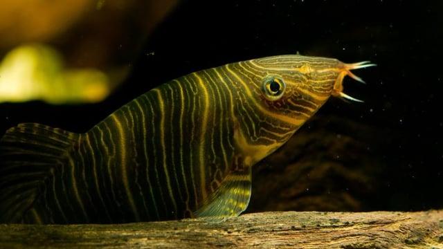 Ikan Hias Cantik Asal Palembang Ini Jadi Buruan Singapura Kumparan Com