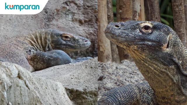 Kisah Rinca Dan Rangga Kawin Sampai Bertelur 21 Komodo Kumparancom