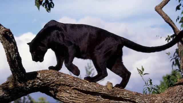 Macan Kumbang Sama Saja Dengan Macan Tutul Dan Jaguar Kumparan Com